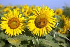 Tournesols jaunes sur le champ contre le gisement mûr de tournesol de fleurs de ciel bleu, été, le soleil photos libres de droits