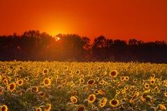 Tournesols noirs d'huile au coucher du soleil Image libre de droits