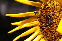 Tournesols qui sont entourés par des abeilles en raison du miel photos libres de droits
