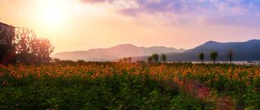 Tournesols rougeoyant contre le coucher du soleil images stock