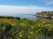 Tournesols sauvages de Bush en Palos Verdes, la Californie Photos libres de droits