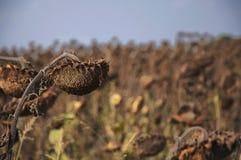 Tournesols secs mûris dans le feld d'automne contre la mort de concept de ciel bleu dans l'intérêt du futureh images libres de droits