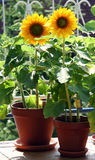 Tournesols sur le balcon Photo stock