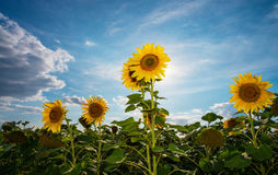 Tournesols sur le champ Photos libres de droits