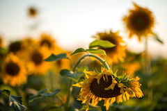 Tournesols ukrainiens Images stock