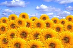 Tournesols. Un collage Image stock