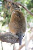 Tournez de retour le singe sur l'arbre Images stock