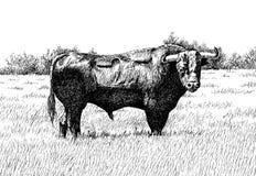 touro Fotografia de Stock