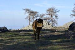 Touro Arouquês_Arouquese Bull Imagens de Stock