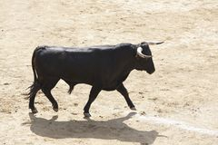 Touro de combate na arena bullring Bravo de Toro spain imagens de stock