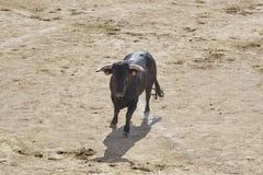 Touro de combate na arena bullring Bravo de Toro spain fotografia de stock