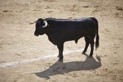 Touro de combate na arena bullring Bravo de Toro spain fotografia de stock royalty free