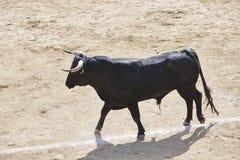 Touro de combate na arena bullring Bravo de Toro spain foto de stock royalty free