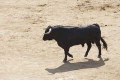Touro de combate na arena bullring Bravo de Toro spain fotos de stock royalty free