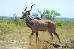 Touro de Kudu Fotografia de Stock Royalty Free