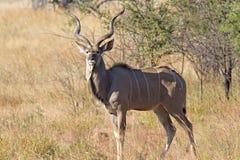 Touro de Kudu Imagem de Stock Royalty Free