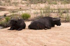Touro do búfalo Fotografia de Stock