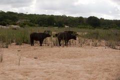 Touro do búfalo Imagem de Stock