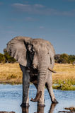 Touro do elefante Fotografia de Stock Royalty Free