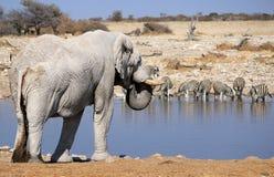 Touro do elefante africano na reserva dos animais selvagens de Etosha Fotografia de Stock Royalty Free