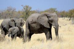 Touro do elefante africano na reserva dos animais selvagens de Etosha Imagem de Stock Royalty Free
