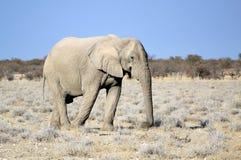 Touro do elefante africano na reserva dos animais selvagens de Etosha Foto de Stock