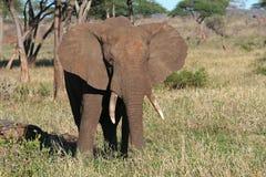 Touro do elefante africano que agita suas orelhas, Tanzânia Fotos de Stock