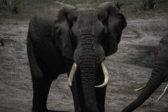 Touro do elefante com as grandes presas no parque do elefante de Tembe Imagem de Stock