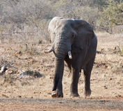 Touro do elefante com grande aproximação das presas Fotos de Stock Royalty Free