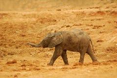 Touro do elefante do bebê foto de stock royalty free