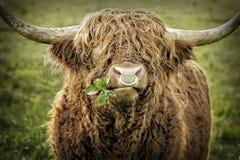 Touro do gado das montanhas que mastiga as folhas Fotografia de Stock Royalty Free