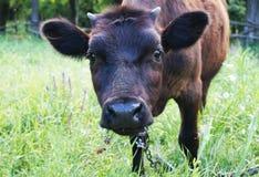 Touro do leite da cabeça de Blackcow Imagem de Stock Royalty Free