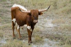 Touro do longhorn de Texas, madeira lançada à costa Texas foto de stock royalty free