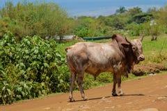 Touro doméstico que anda na rua da vila em África imagens de stock royalty free