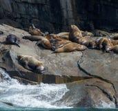Touro e harém do leão de mar Fotos de Stock