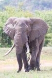 Touro enorme do elefante que anda no sol quente longe da água imagem de stock