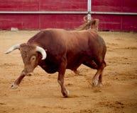 Touro marrom bravo e perigoso na praça de touros fotos de stock royalty free