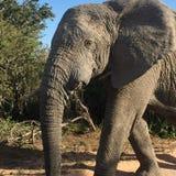 Touro velho do elefante fotografia de stock royalty free