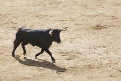 Touros de combate na arena bullring Bravo de Toro spain fotos de stock