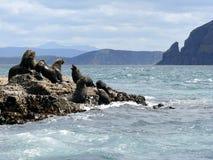 Touros do lobo-marinho & vacas, Tasmânia, Austrália Fotos de Stock