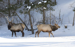 Touros dos alces que andam na neve Fotos de Stock