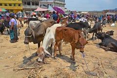 Touros e vitelas novos da venda dos povos Fotografia de Stock