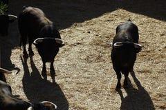 Touros pretos em uma praça de touros de Vinaros, Espanha fotografia de stock royalty free