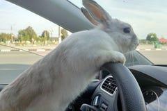 Tours blancs de lapin de Pâques pour donner des cadeaux Lapin dans la voiture au siège de conducteur derrière le volant Conducteu image stock