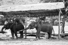 Tours elephant in elephant camp. Black and white photo of tours elephant in elephant camp.  signature animal of Thailand Royalty Free Stock Images