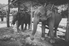 Tours elephant in elephant camp. Black and white photo of tours elephant in elephant camp.  signature animal of Thailand Royalty Free Stock Image