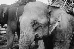 Tours elephant in elephant camp. Black and white photo of tours elephant in elephant camp. signature animal of Thailand stock image