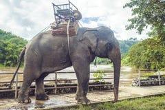 Tours elephant in elephant camp. Signature animal of Thailand Royalty Free Stock Images