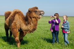 Toursits making shootings animal camel in Askania Nova. Ukraine Royalty Free Stock Image