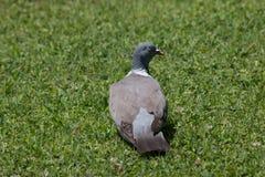 Tourterelle se reposant sur l'herbe image libre de droits